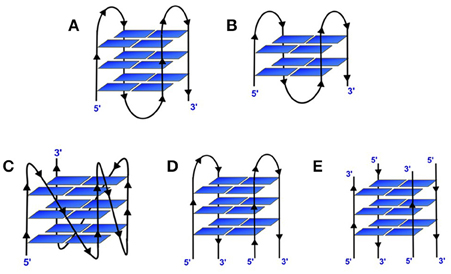 Frontiers | Metal Cations in G-Quadruplex Folding and Stability