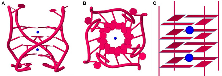 Frontiers | Metal Cations in G-Quadruplex Folding and