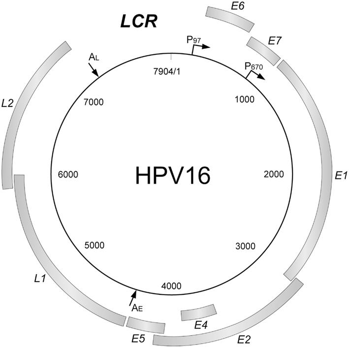 humán papillomavírus genom szekvencia)
