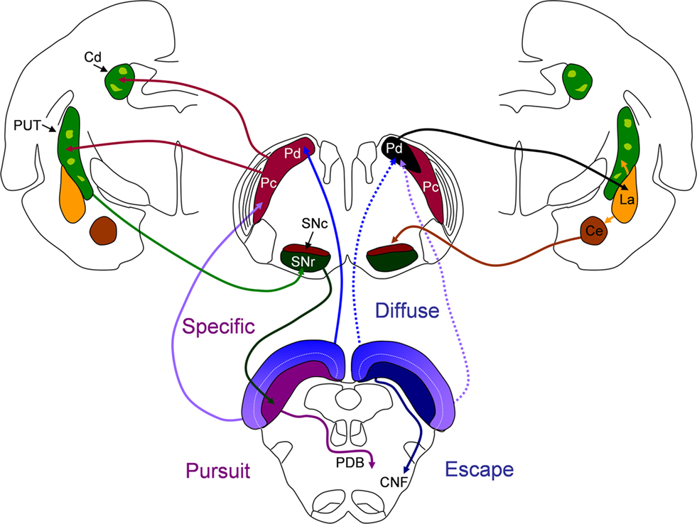 Frontiers | Pulvinar Projections to the Striatum and Amygdala in the ...