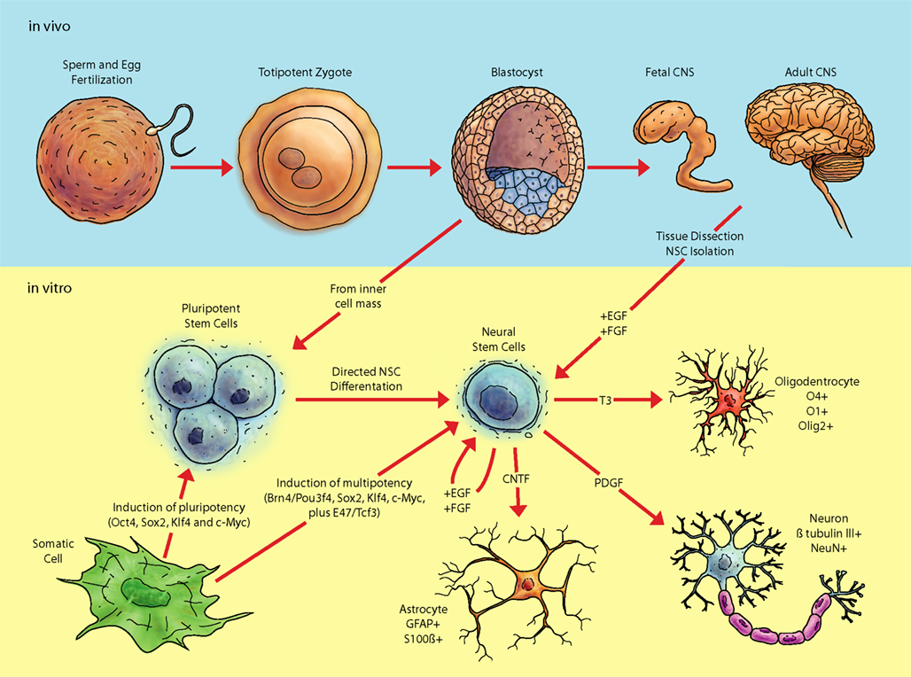 an overview of neurofibromatoses and the development of neural cell tissues The neurofibromatoses are autosomal-dominant genetic disorders of the nervous system that primarily affect the development and growth of neural cell overview of.