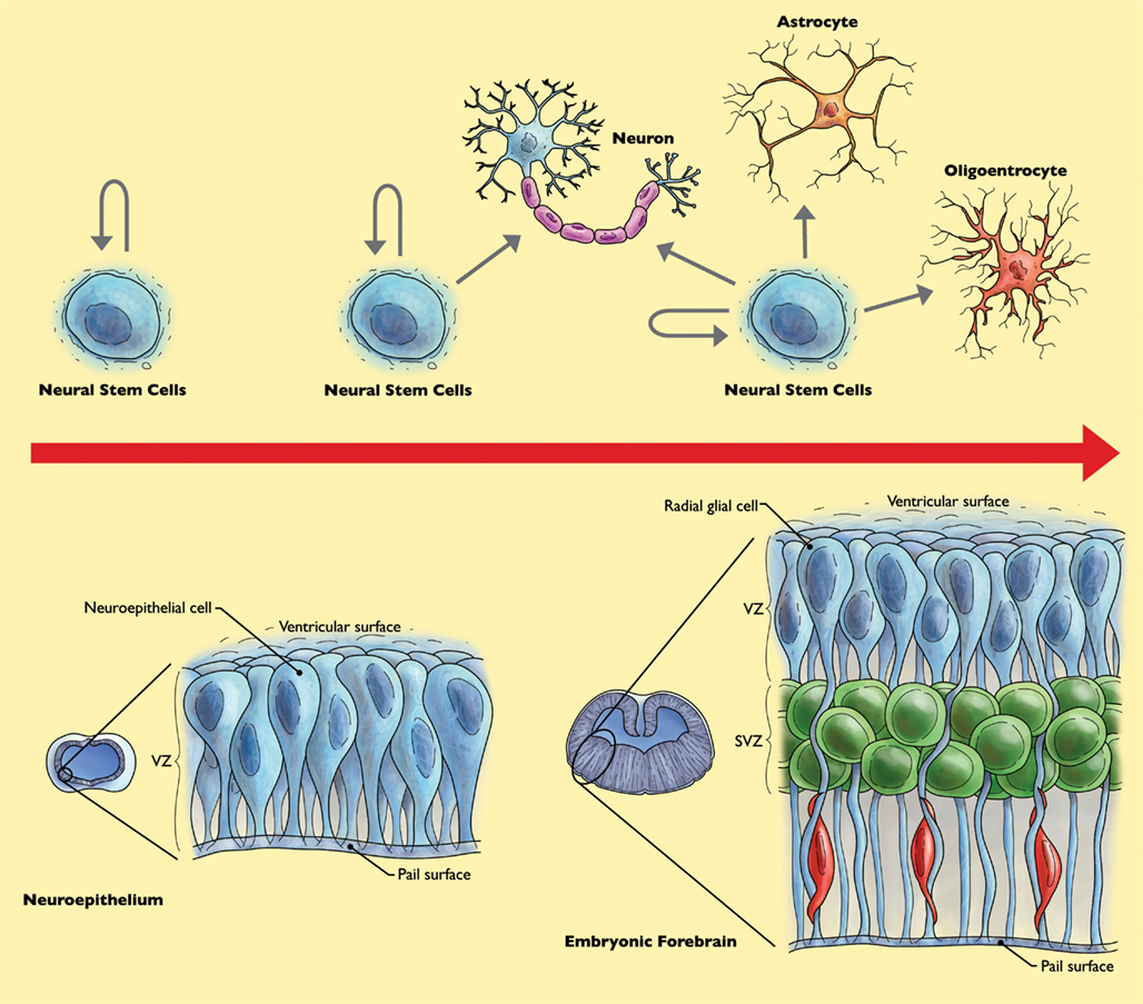 neural stem cells Patients with parkinson's disease who received human neural stem cells in a phase 1 trial are performing better six months after the start of the trial.