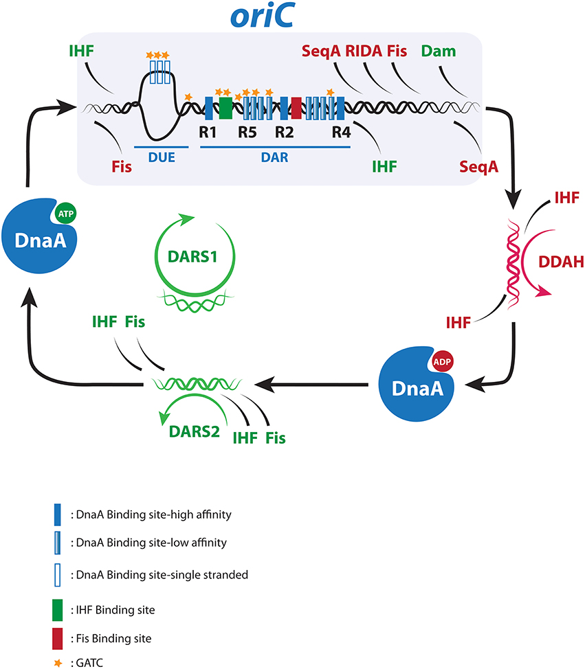 Multiple DNA Binding Proteins Contribute To