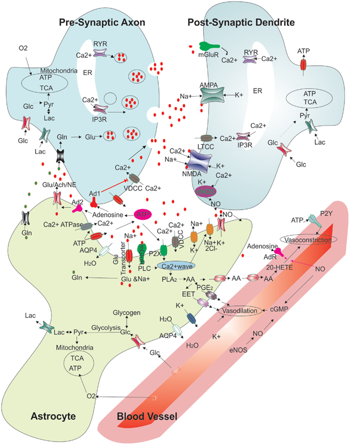 Frontiers cellular links between neuronal activity and energy frontiersin ccuart Image collections