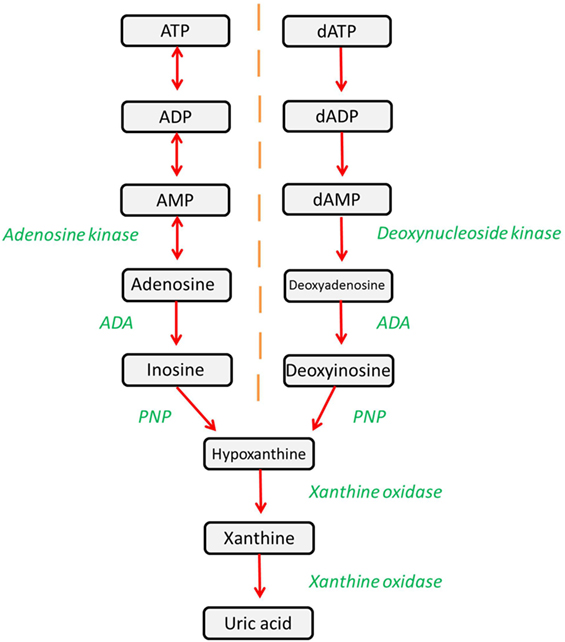 frontiers adenosine deaminase deficiency more than just an