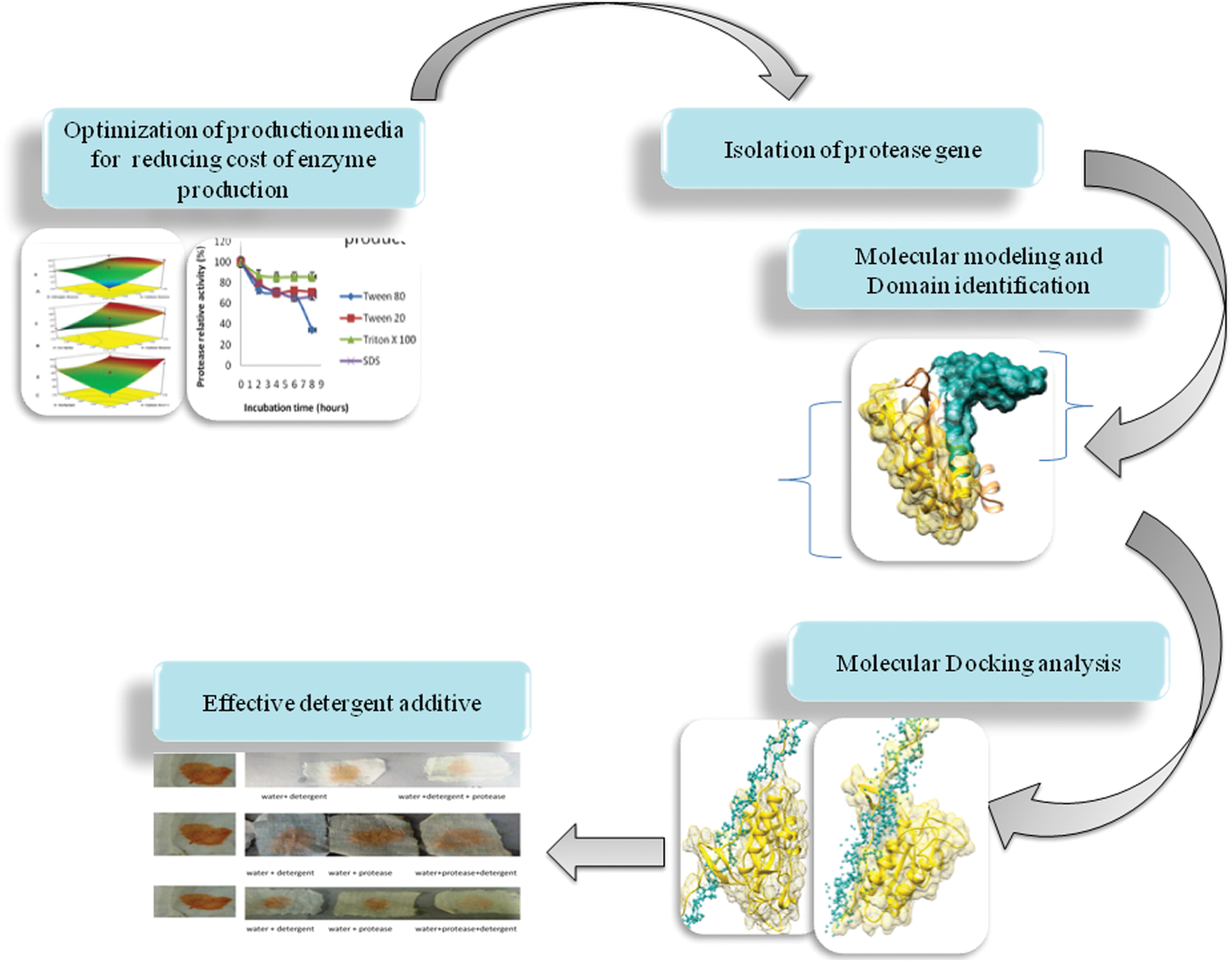 casein protease enzyme
