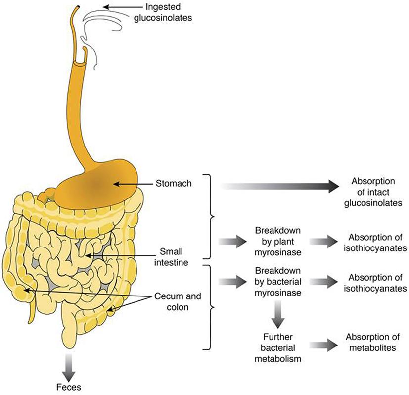 Frontiers Bioavailability Of Glucosinolates And Their Breakdown SA 200 Rheostat Wiring Sa F 168 Parts Diagram
