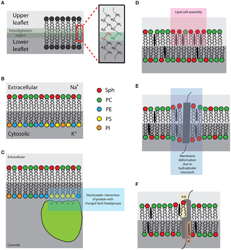 Frontiers There Is No Simple Model Of The Plasma Membrane