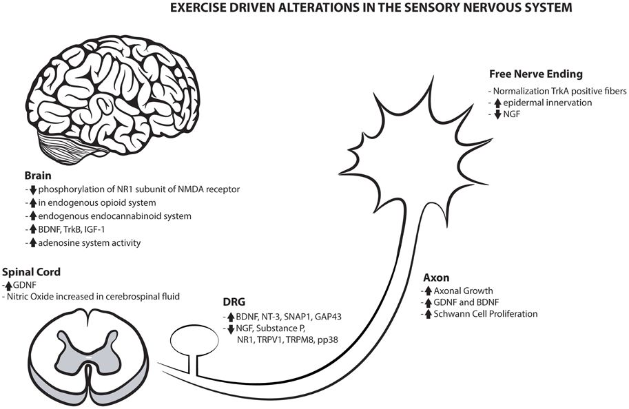 Frontiers | Emerging Relationships between Exercise, Sensory Nerves