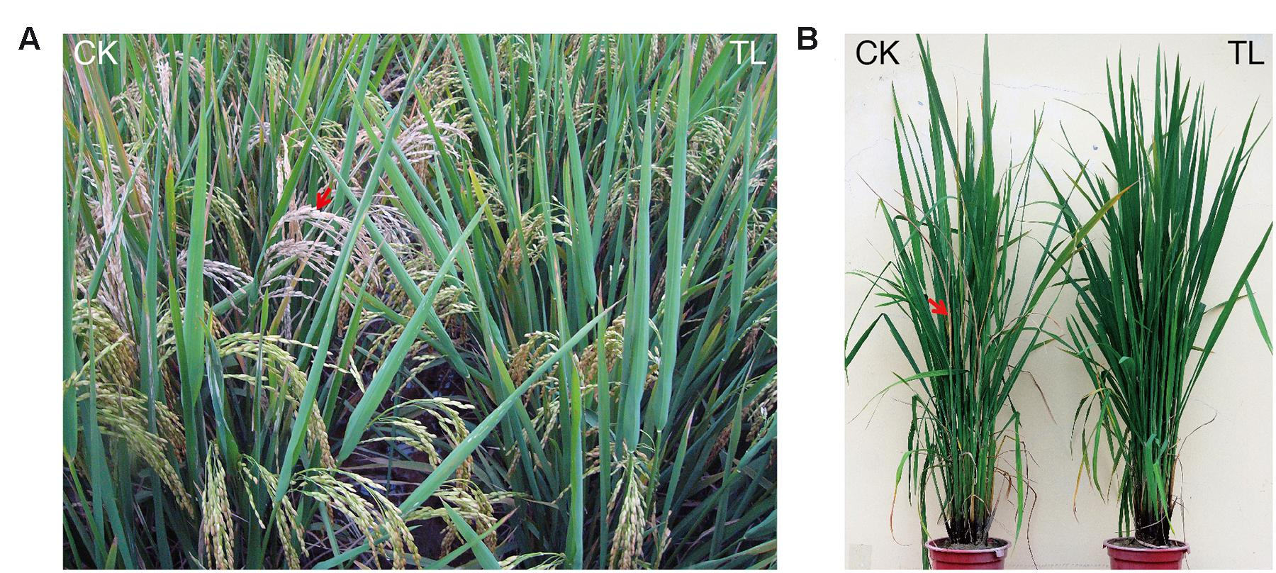transgenic rice plants that express insect resistance Most of the existing insect-resistant plants express a single resistance gene placed under the control of a constitutive promoter, and management practices were first adopted in the us for the deployment of such b thuringiensis toxin-expressing plants.