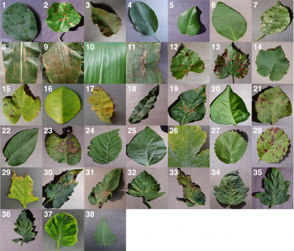 Frontiers | Using Deep Learning for Image-Based Plant Disease