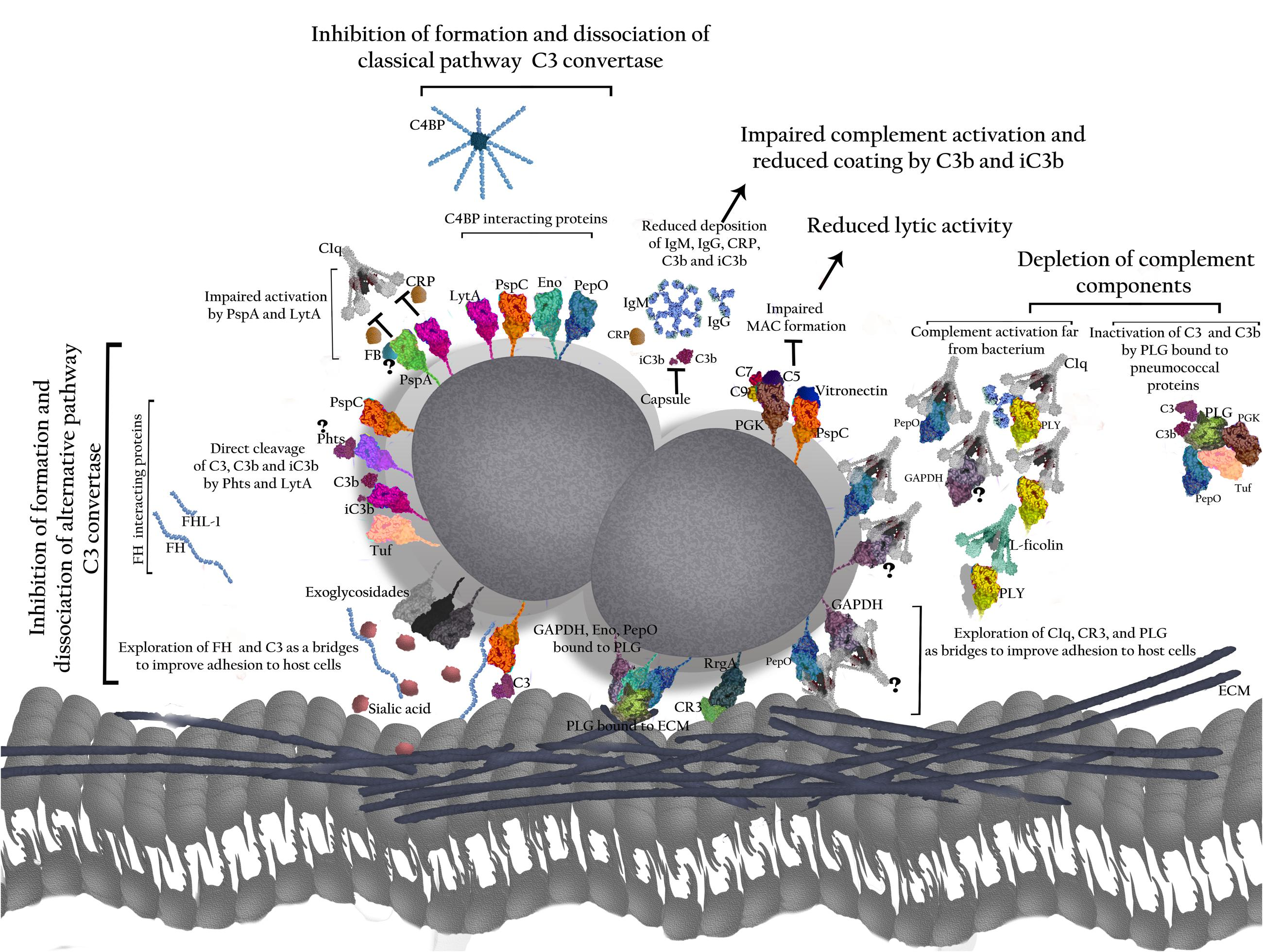 Frontiers Role Of Streptococcus Pneumoniae Proteins In Evasion Diagram Prokaryotic Cell By Mariana Ruiz