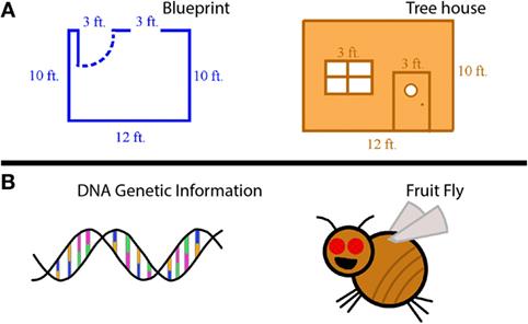 """איור 1 - השוואה בין A. תוכניות, שהן הוראות לבניית משהו כמו בית על עץ, ובין B. דנ""""א, המכיל הוראות (מידע גנטי) לבניית בעל חיים, כגון זבוב הפירות."""