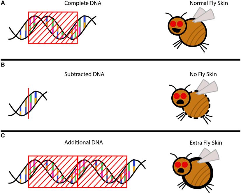 איור 2 - סוגים שונים של מוטציות יכולים להשפיע על הקוטיקולה של זבוב הפירות.