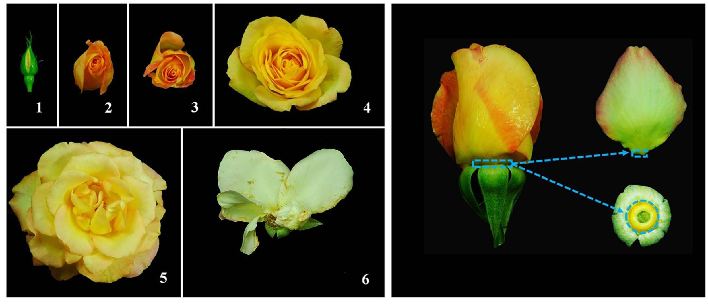 Frontiers Transcriptome Profiling Of Petal Abscission Zone And Rose Anatomy Diagram Related Keywords Suggestions Figure 1 Flower