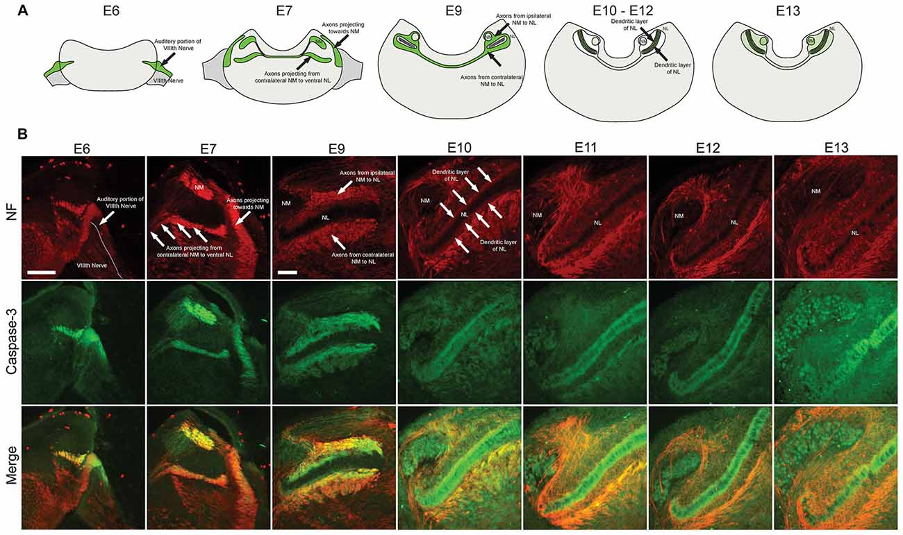Frontiers | Axonal Cleaved Caspase-3 Regulates Axon