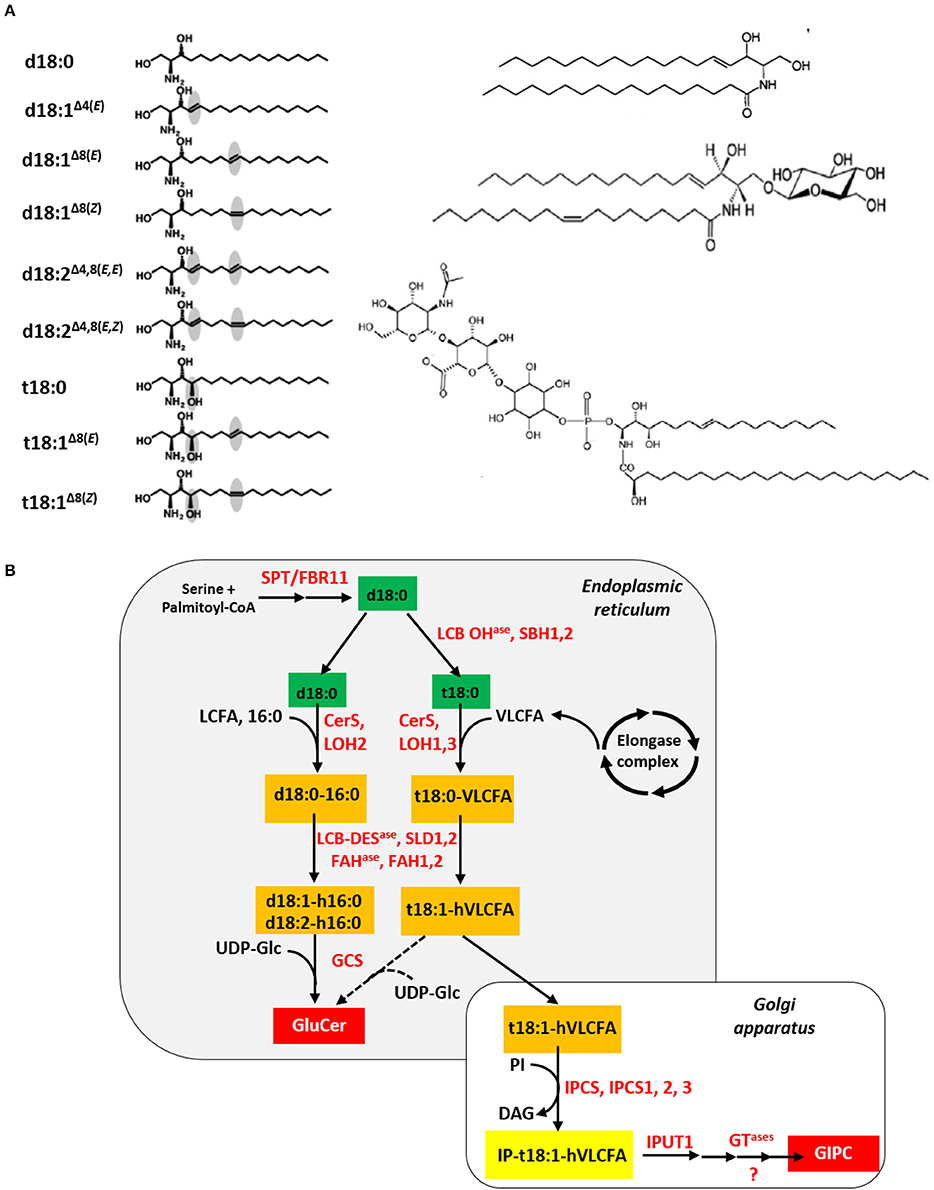 How are the Fats Synthesized in Plants? | Lipid Metabolism