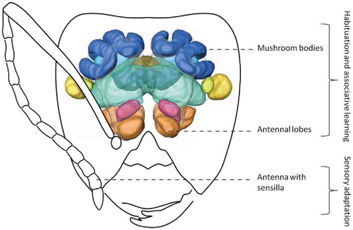 basic ants olfactory system Overview of the honey bee olfactory system in a schematic head capsule (front and side views), with the main olfactory organs and areas (antenna, antennallobe, lateral protocerebrum, mushroom body) indicated by colors.