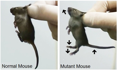 Figure 3 - In both columns of the figure, researchers pinch a mouse pup at the back of the neck to recreate the way a mother carries her pup.