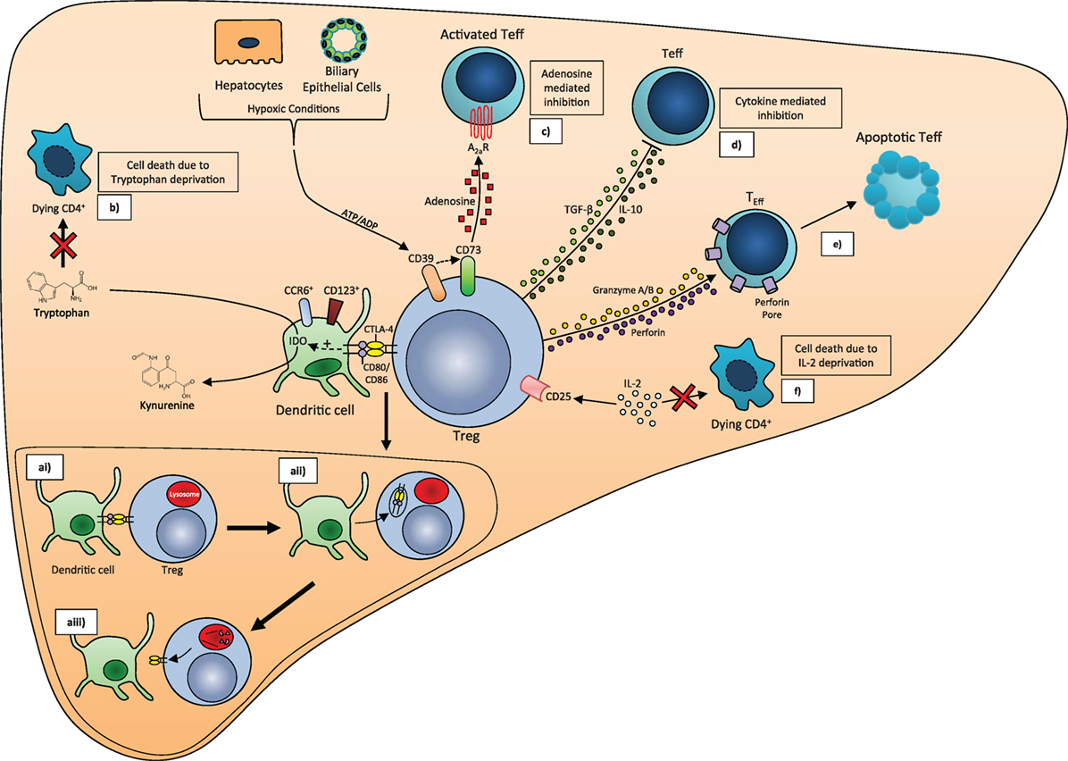 frontiers clinical potential of regulatory t cell therapy in liver