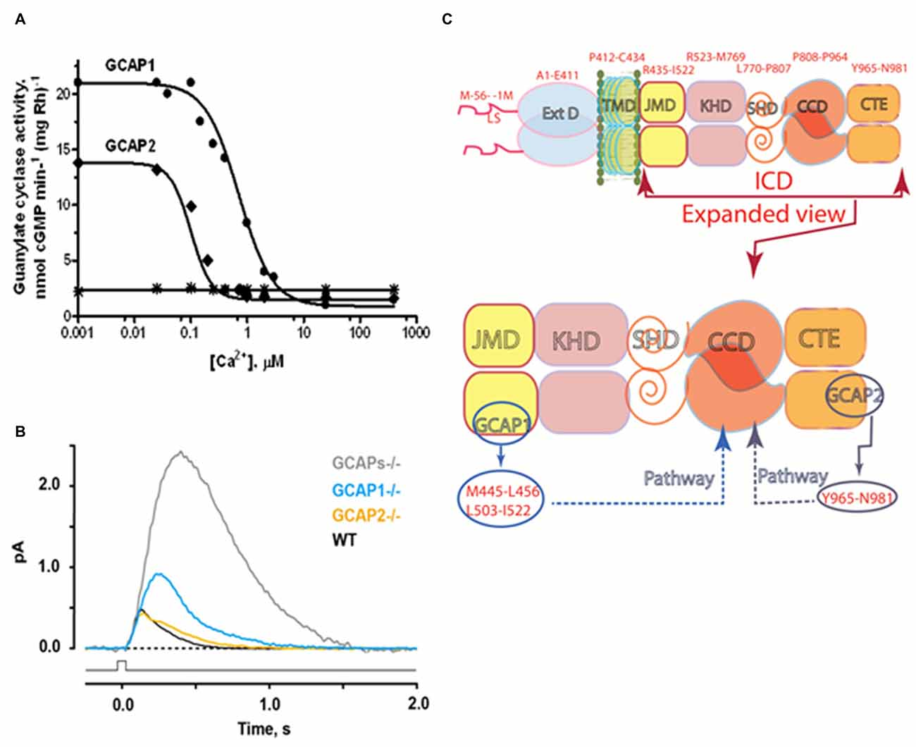 frontiers integrative signaling networks of membrane guanylate