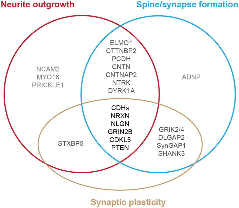Frontiers | A Subset of Autism-Associated Genes Regulate the