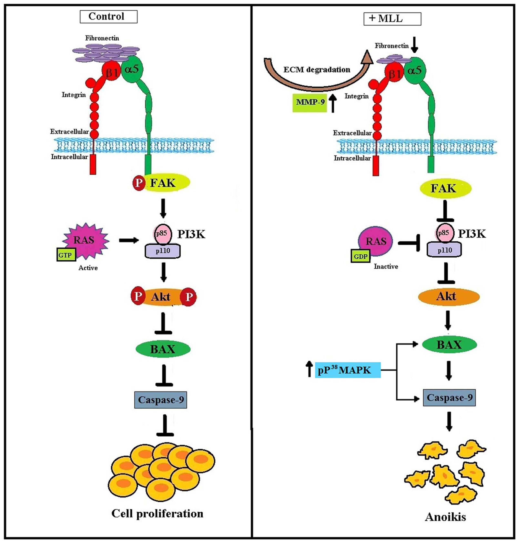 Frontiers | Morus alba Leaf Lectin (MLL) Sensitizes MCF-7 Cells to