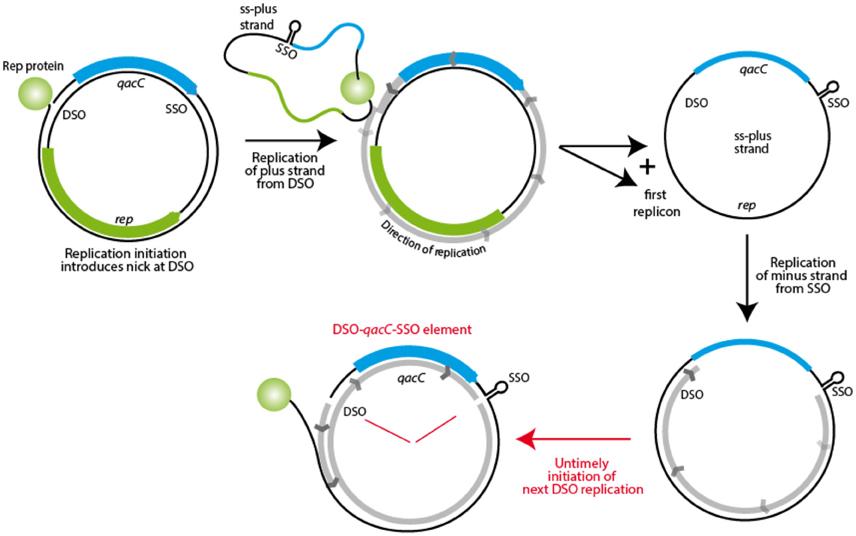 Frontiers | The qacC Gene Has Recently Spread between ...