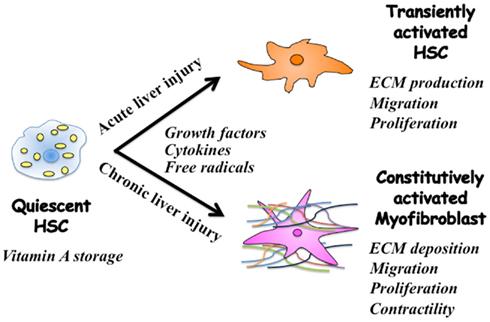 Hepatic stellate cells