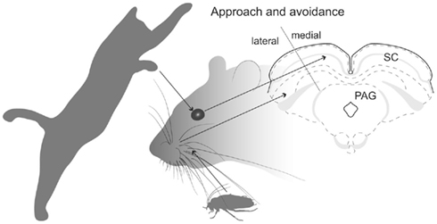 Frontiers | Segregated Anatomical Input to Sub-Regions of the Rodent ...