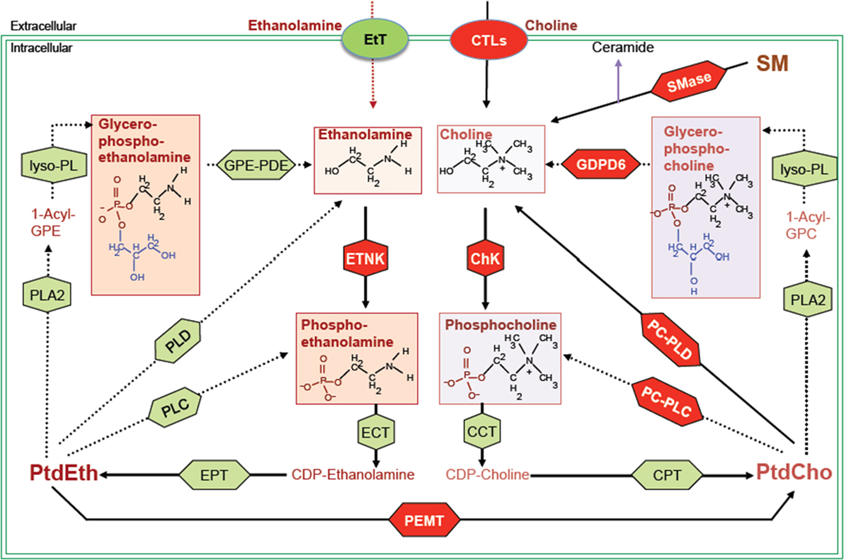 Frontiers Targeting Phospholipid Metabolism In Cancer Oncology