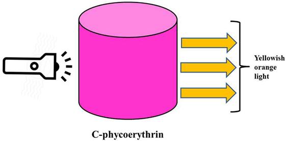 איור 4 - התכונות הפלואורסצנטיות של C-פיקואריתרין (CPE) הצבע הלבן של האור הנוצר על-ידי הפנס עובר שינוי על ידי לאור צהבהב כתום, שנקלט על-ידי C-פיקוציאנין.