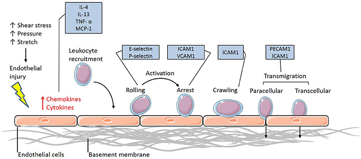 Mechanical Forces and the Endothelium: 6 (Endothelial Cell Research)