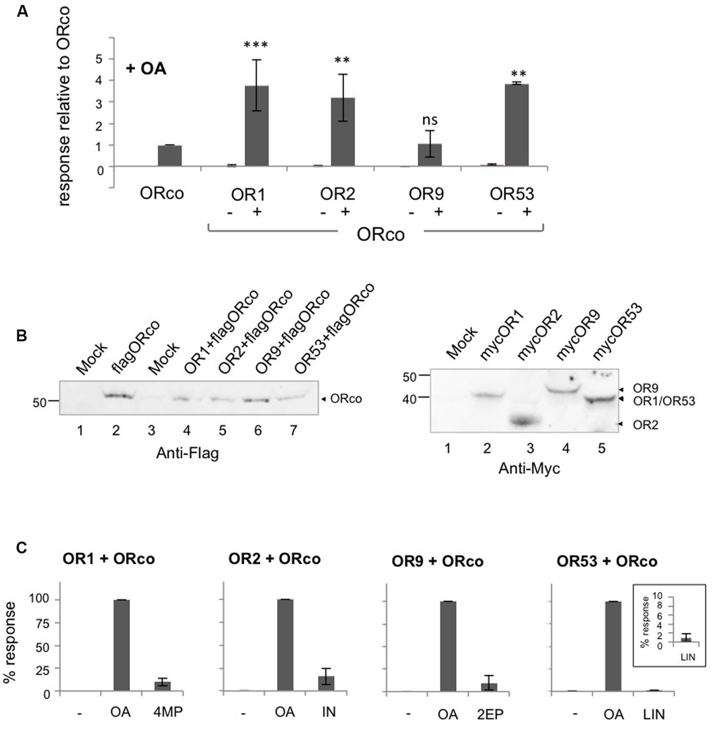 Frontiers Positive Allosteric Modulation Of Insect Olfactory Electronic Circuit Analysis Johnson