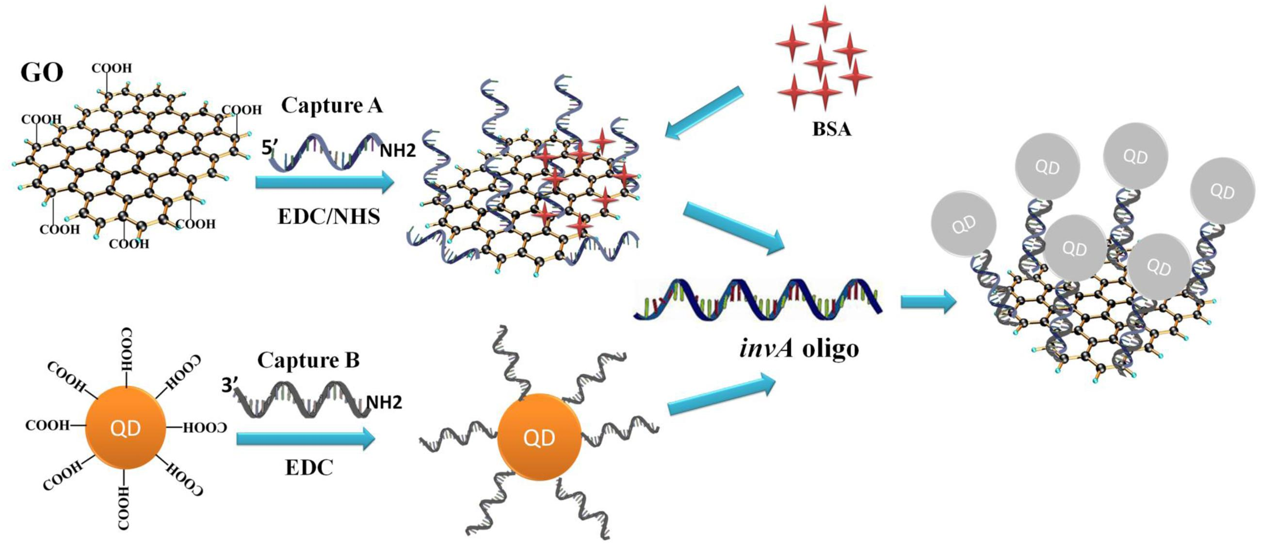 frontiers development of a novel quantum dots and graphene oxide