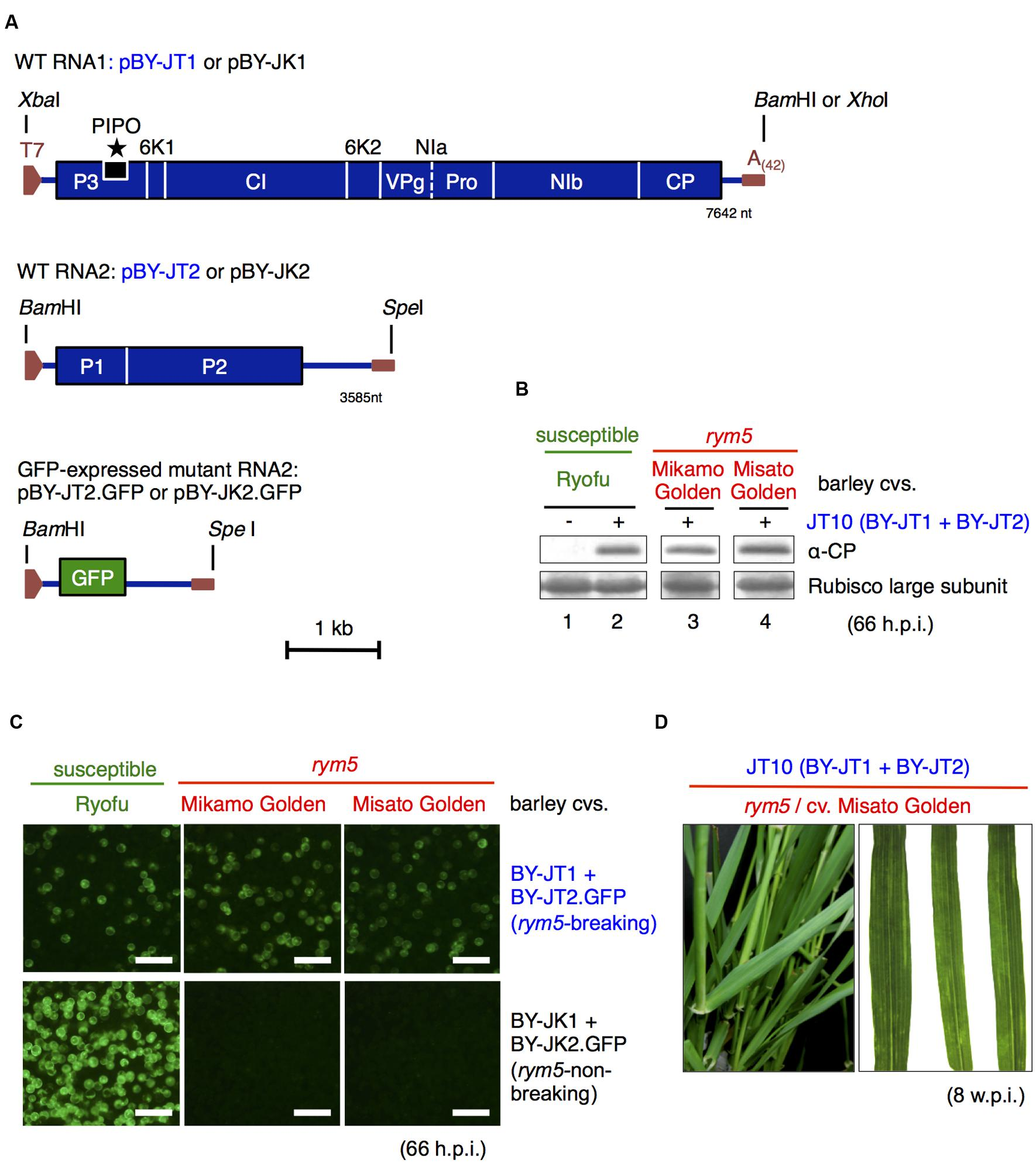 Frontiers | Barley Yellow Mosaic Virus VPg Is the
