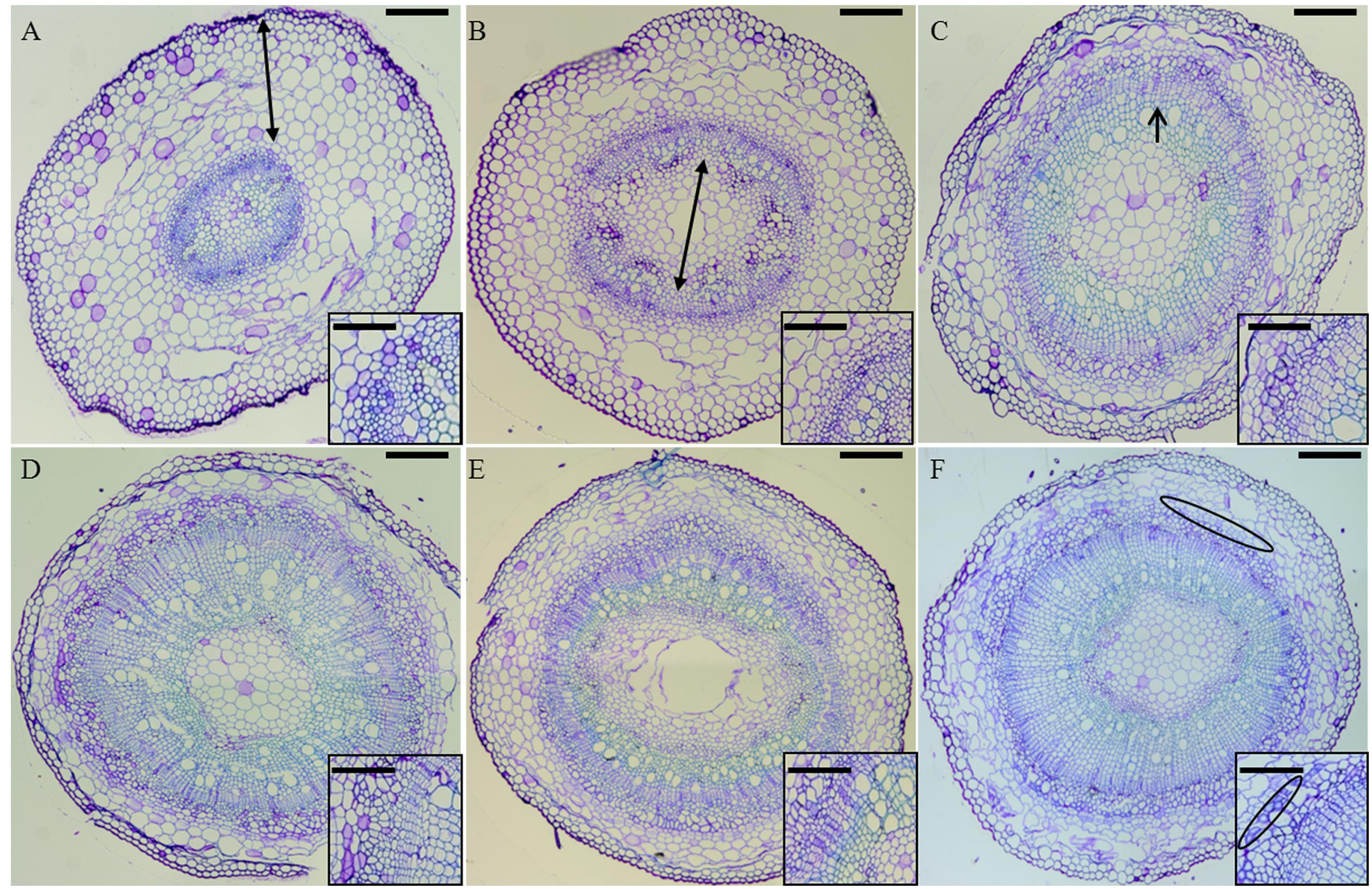 Frontiers | Studying Secondary Growth and Bast Fiber