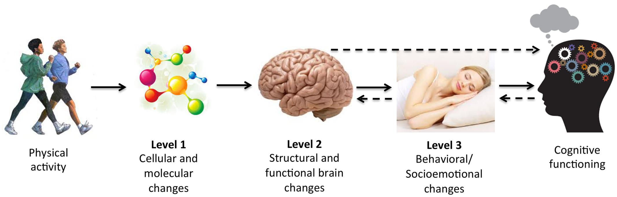 Frontiers | Mediators of Physical Activity on Neurocognitive ...