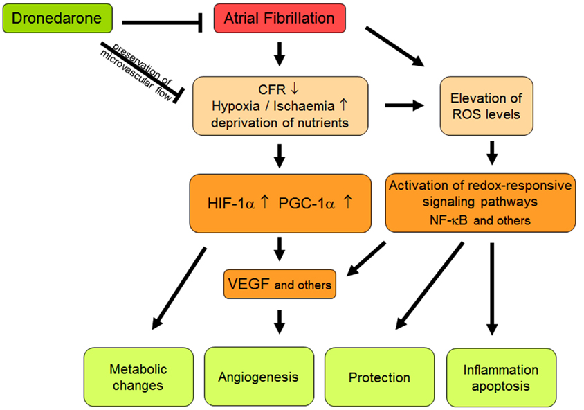 Atrial Fibrillation Concept Map.Frontiers Oxidative Stress And Microcirculatory Flow Abnormalities