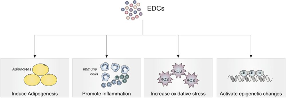 Frontiers | The Effects of Endocrine Disruptors on
