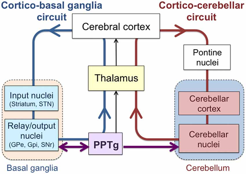 Basal Ganglia Circuit Diagram | Frontiers The Pedunculopontine Tegmental Nucleus As A Motor And