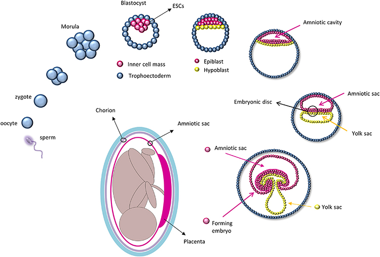 Frontiers | Amniotic Epithelial Cells: A New Tool to Combat