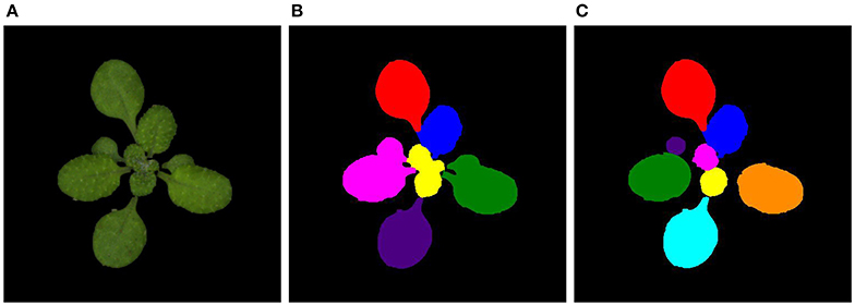 Frontiers | Leaf Segmentation and Tracking in Arabidopsis