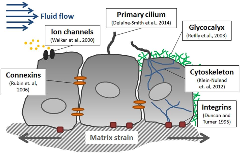 Frontiers | In Vitro Bone Cell Models: Impact of Fluid Shear