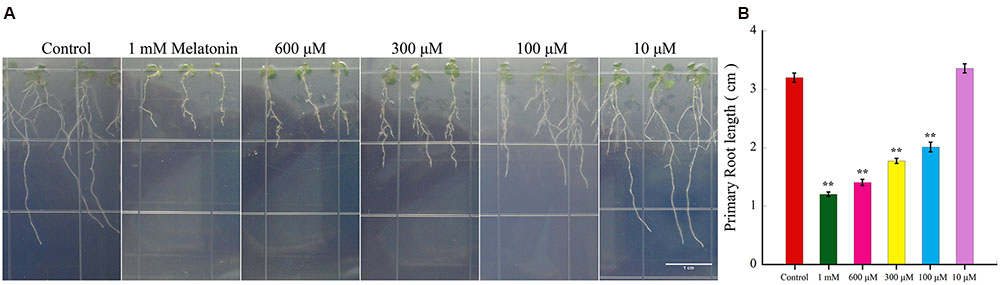the effect of convallaria root concentration We found that the average cardenolide concentrations in nectar,  the  consequences of consuming these 'toxic' nectars for  as the leaves, roots, pith  and epidermis within the same plant (nelson,  cardenolides such as  convallatoxin (found in convallaria majalis), ouabain (found in strophanthus spp ).