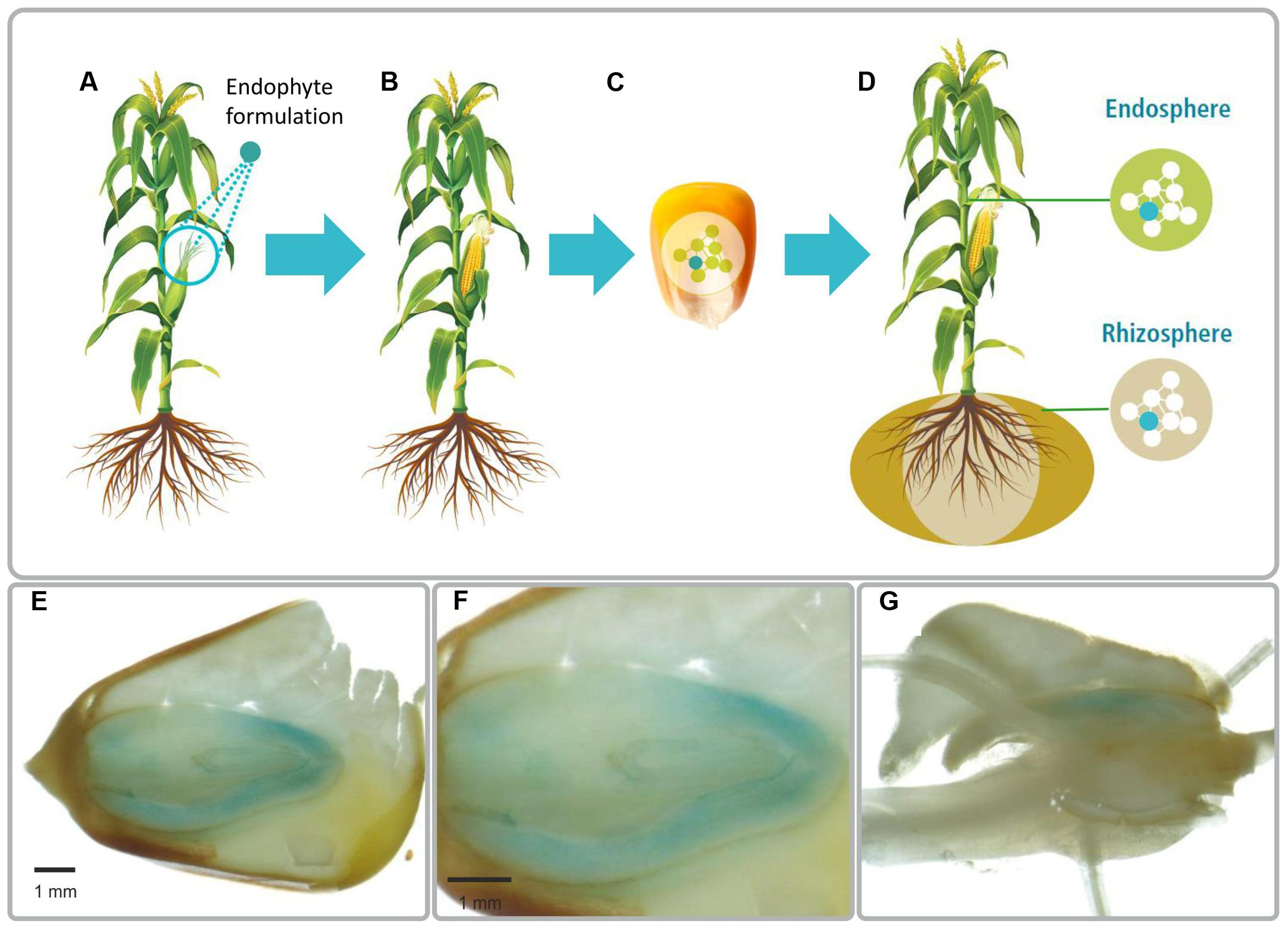 Frontiers | A New Approach to Modify Plant Microbiomes and Traits by ...