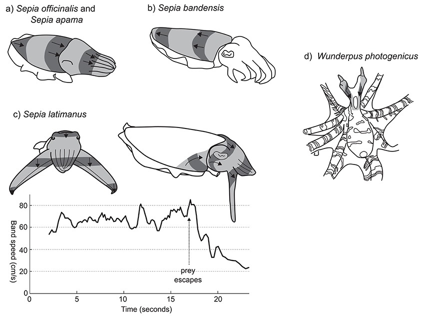 Frontiers dynamic skin patterns in cephalopods physiology frontiersin ccuart Images