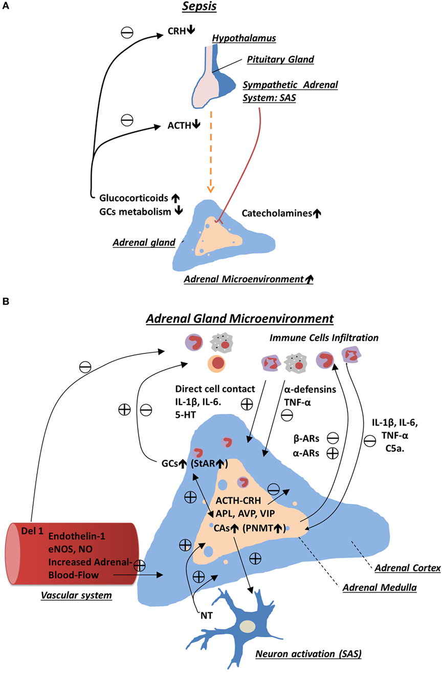 Frontiers Adrenal Gland Microenvironment And Its Involvement In