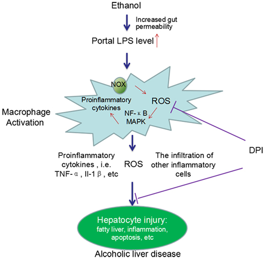 Frontiers Critical Roles Of Kupffer Cells In The Pathogenesis Of