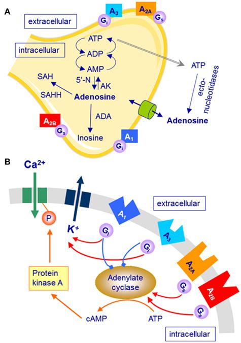 Adenosine A1 Receptor Antagonists